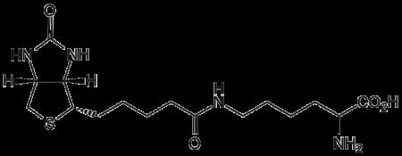 Biocytin